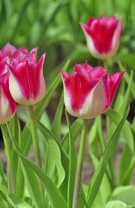 """Среднецветущие белые тюльпаны. Сорт """"Гарден Пати"""" (с розово-красной каймой)."""