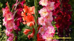 Хорошее цветение гладиолуса можно получить только на открытых солнечных участках с достаточно влагоемкой плодородной почвой.