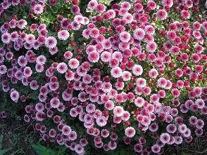 Хризантема мелкоцветковая.