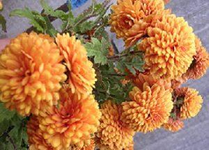 Хризантема помпоновидная.
