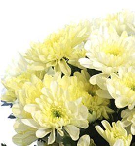 Хризантема сорт Маргаритка.
