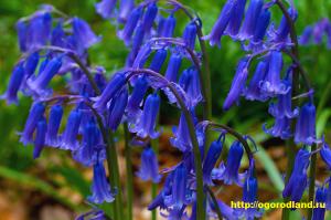 К почвам колокольчики нетребовательны, но лучше цветут на хорошо обработанных, рыхлых, плодородных и умеренно влажных почвах.