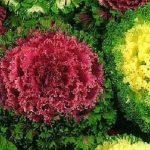 Декоративная капуста - красивое растения для вашего участка