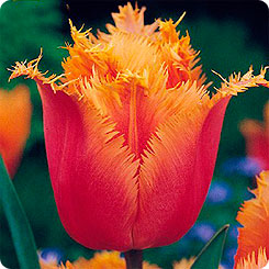 "Тюльпаны.Сорт ""Lambada""."