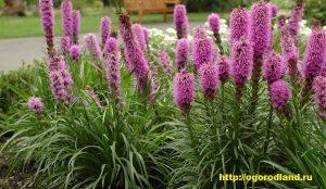 Горящая звезда — бесподобно красив этот цветок не только в саду, но и в вазе