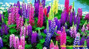 """Люпин. Сорт """"Фейерверк"""" — смесь окрасок. Любимые эффектные цветы. Растение высотой 100 — 120 см, листья красивые, пальчато-сложные, на длинных черешках."""