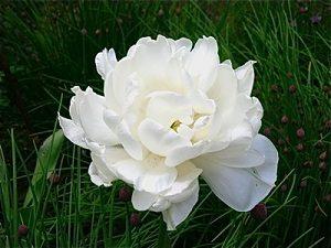 """Поздноцветущие махровые тюльпаны. Сорт """"Маунт Такома""""."""