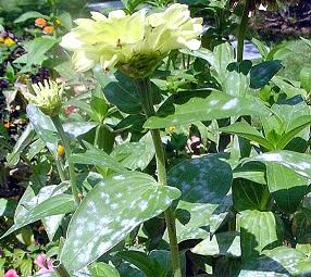Мучнистая роза на цветочных растениях.