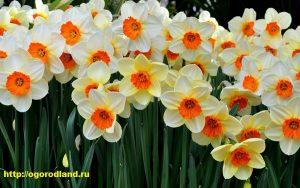 Начало и продолжительность цветения нарциссов зависит от температуры почвы и воздуха.