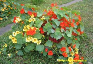 Широко используют настурцию для посадки в цветники, рабатки, в качестве бордюрных растений, в ящиках на балконах и окнах, в вазонах.