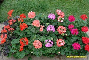 Пеларгония — растение, привыкшее больше к сухости, чем к сырости, поэтому не стоит сажать ее в сырых местах.
