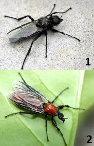 Толстоножка (садовый комарик). 1- самец; 2- самка.