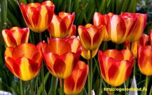 Под тюльпаны отводят хорошо освещенный и защищенный от ветра участок с плодородной почвой и хорошим дренажем.