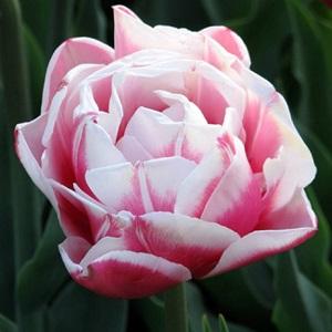 """Поздноцветущие махровые тюльпаны. Сорт """"Вироза""""."""