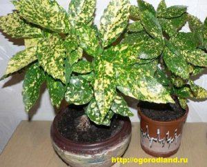 Аукуба - неприхотливое растение.