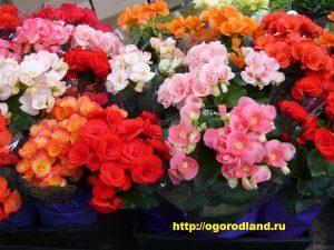 Кроме декоративнолистных бегоний, цветоводы выращивают клубневые, ампельные красиво-цветущие и кустарниковые бегонии.