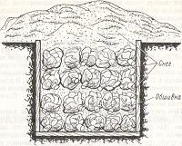 Рис. №2. Снегование свежей капусты в траншее.
