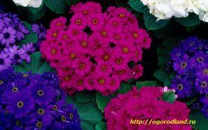 Цветение у цинерарии наступает в октябре-ноябре.