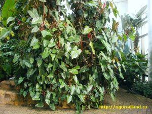 В природных условиях филодендроны используют для опоры деревьев.