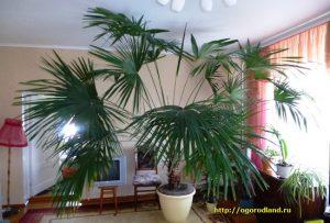 пальма комнатная