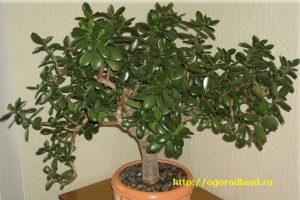 Часто в магазинах под названием крассула цветоводам продают совсем другое растение — рошею.