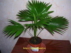 Ливистона (веерная пальма).