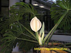 Монстера относится к семейству ароидные - это многолетняя вечнозеленая лиана с толстыми лазящими стеблями, и огромными красиво рассеченными листьями, которые находятся на длинных черешках.