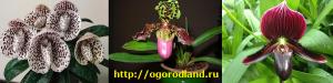 У пафиопедилюма окраска цветков разнообразная: лиловая, красная, желтая, белая, с пятнышками, с прожилочками, пестрая.