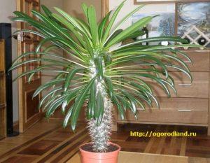 При выращивании пахиподиума в комнате цветение — очень редкое явление.