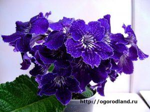 Стрептокарпус невелик, но цветет очень обильно.
