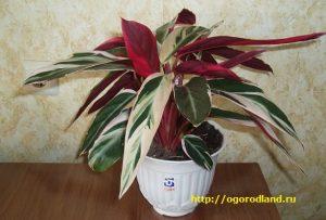 Строманта — символ уюта и тепла в доме.
