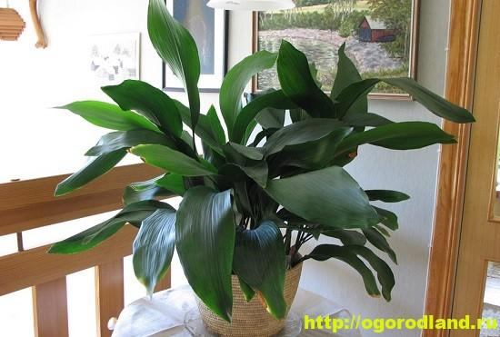 Аспидистра («дружная семейка»). Один из представителей растений универсалов.