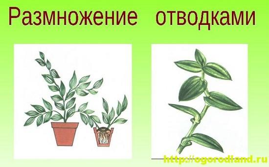 Размножение комнатных растений отводками