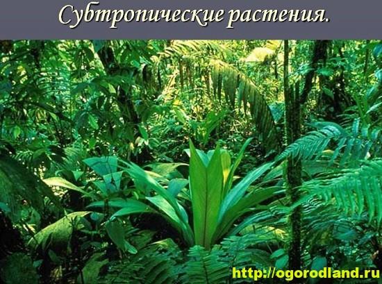 Основу ассортимента растений для холодных восточных и западных комнат составляют субтропические виды.