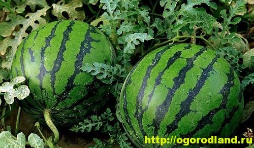На солнечных и хорошо защищенных от ветра участках арбузы можно выращивать без утепленного грунта.
