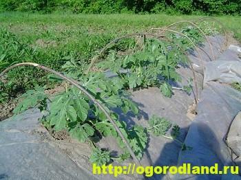 Выращивание арбуза в парниках и пленочных укрытиях