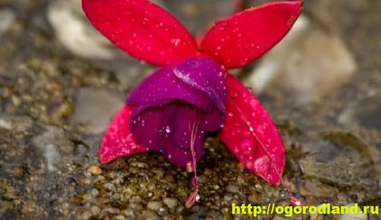 Опадение бутонов может произойти также из-за перестановки растения в момент зацветания у видов
