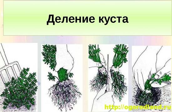 Размножение комнатных растений делением
