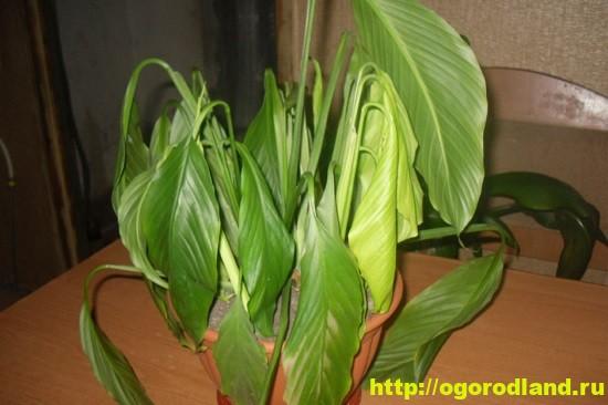 Иногда в пожелтении и увядании части листьев повинна не болезнь.