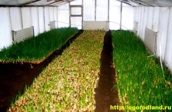 Выращивание зеленого лука в теплицах и парниках. 12