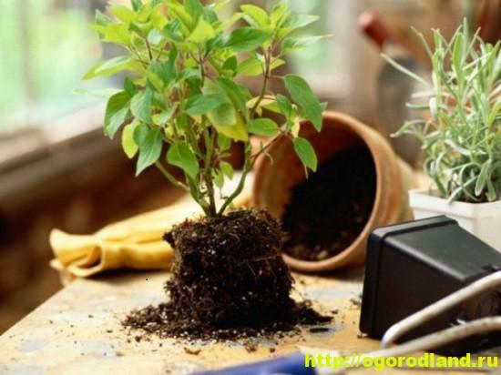 Советы по пересадке комнатных растений