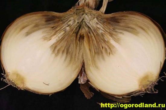 Самая распространенная болезнь лука при хранении — шейковая гниль.