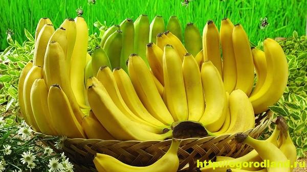 Банан. Лечебные и полезные свойства.