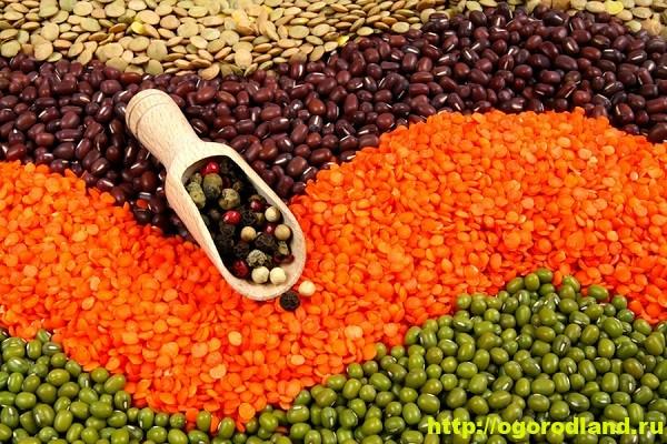 Полезные и лечебные свойства бобовых