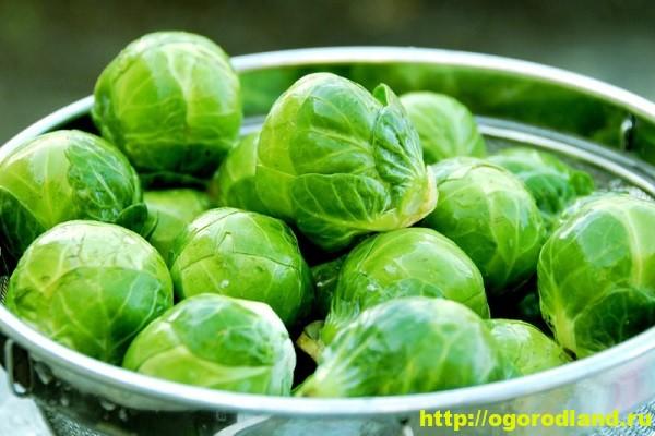 Полезные и лечебные свойства брюссельской капусты