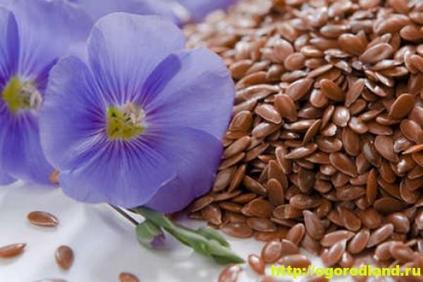 Семя льна - полезные и лечебные свойства. Противопоказания 1