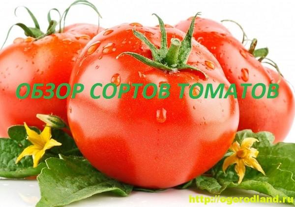 Обзор сортов томатов (помидор) для теплиц и открытого грунта