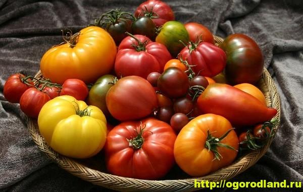 Обзор сортов помидор (томатов) для теплиц, плёночных укрытий