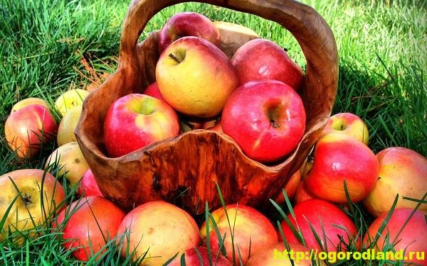 Яблоки. Польза на поверхности