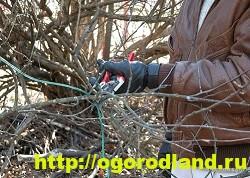 Садовый жасмин (Чубушник). Выращивание жасмина в саду 3
